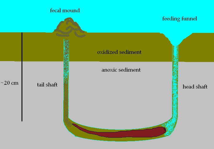 lugworms