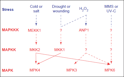 map-kinases
